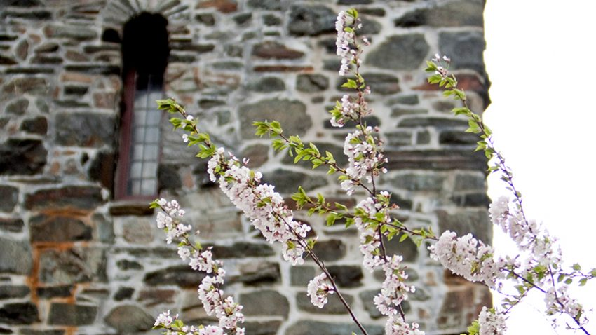 Flowers bloom on a tree in front of the stone tower of Goddard